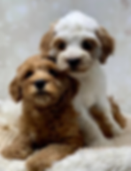 labradoodle puppies.PNG