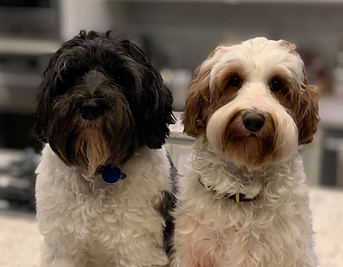 Australia Labradoole Puppies For Sale Florida United States