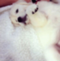 White Golden Retriever Puppies For Sale