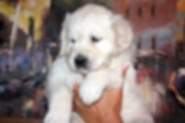 White English Golden Retriever Puppies Available