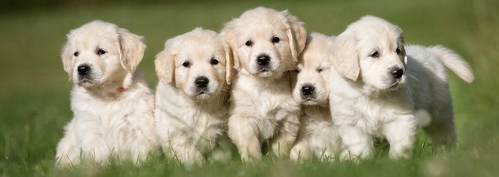 Litter of five cute purebred golden retr