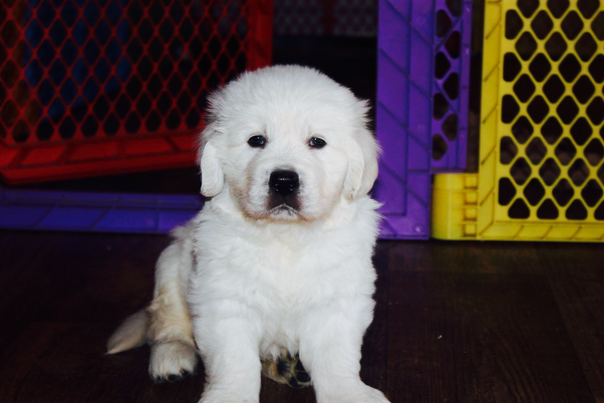 English Cream Golden Retriever Puppies Available in the