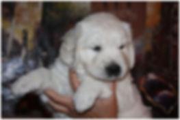 www.whitesandgoldens.com English Cream Golden Retriever Puppy