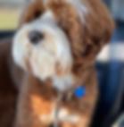 labradoodle dog.PNG