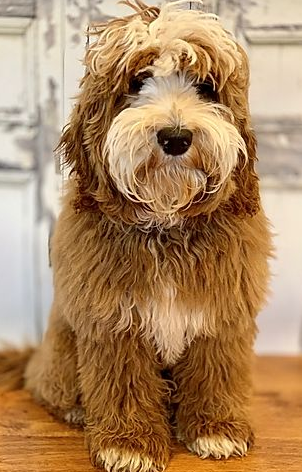 Australian Labradoodles in the United States