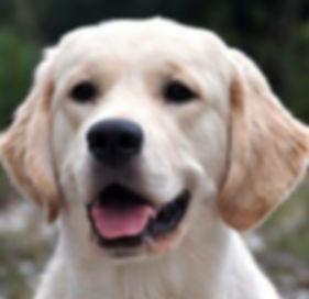 English Cream Golden Retriever Dog