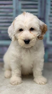austrailian labradoodle puppy available.
