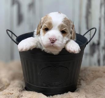 Australia Labradoode Puppy For Sale North Carolina United States