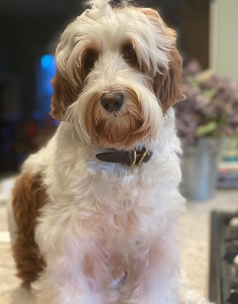 Australia Labradoodle Puppies For Sale In Georgia United States