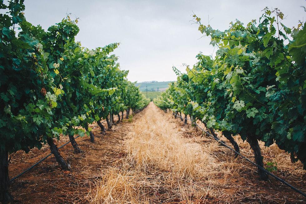 vineyard 2_landscape.jpg