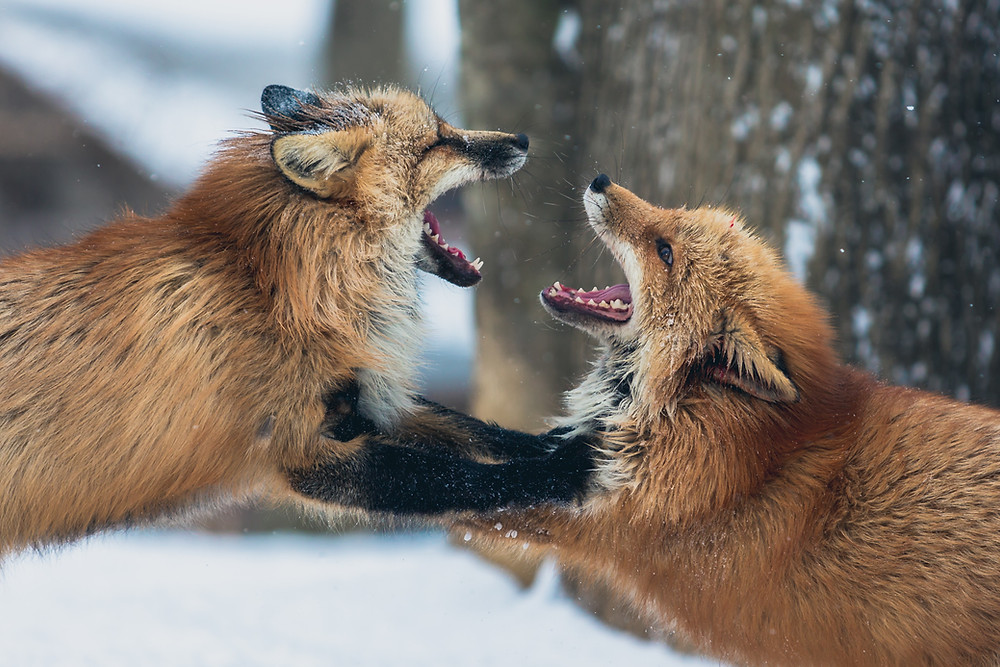 2 foxes fighting between each other.