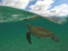 Puerto Vallarta, Jalisco, tortuga del pacífico