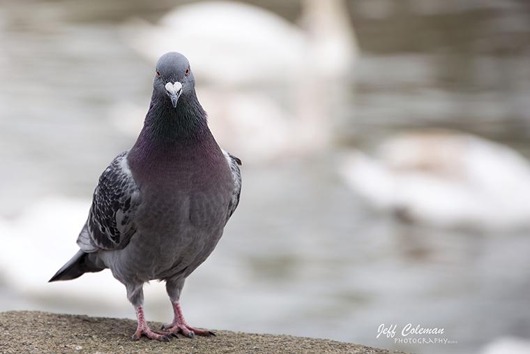 Stratford pidgeon2