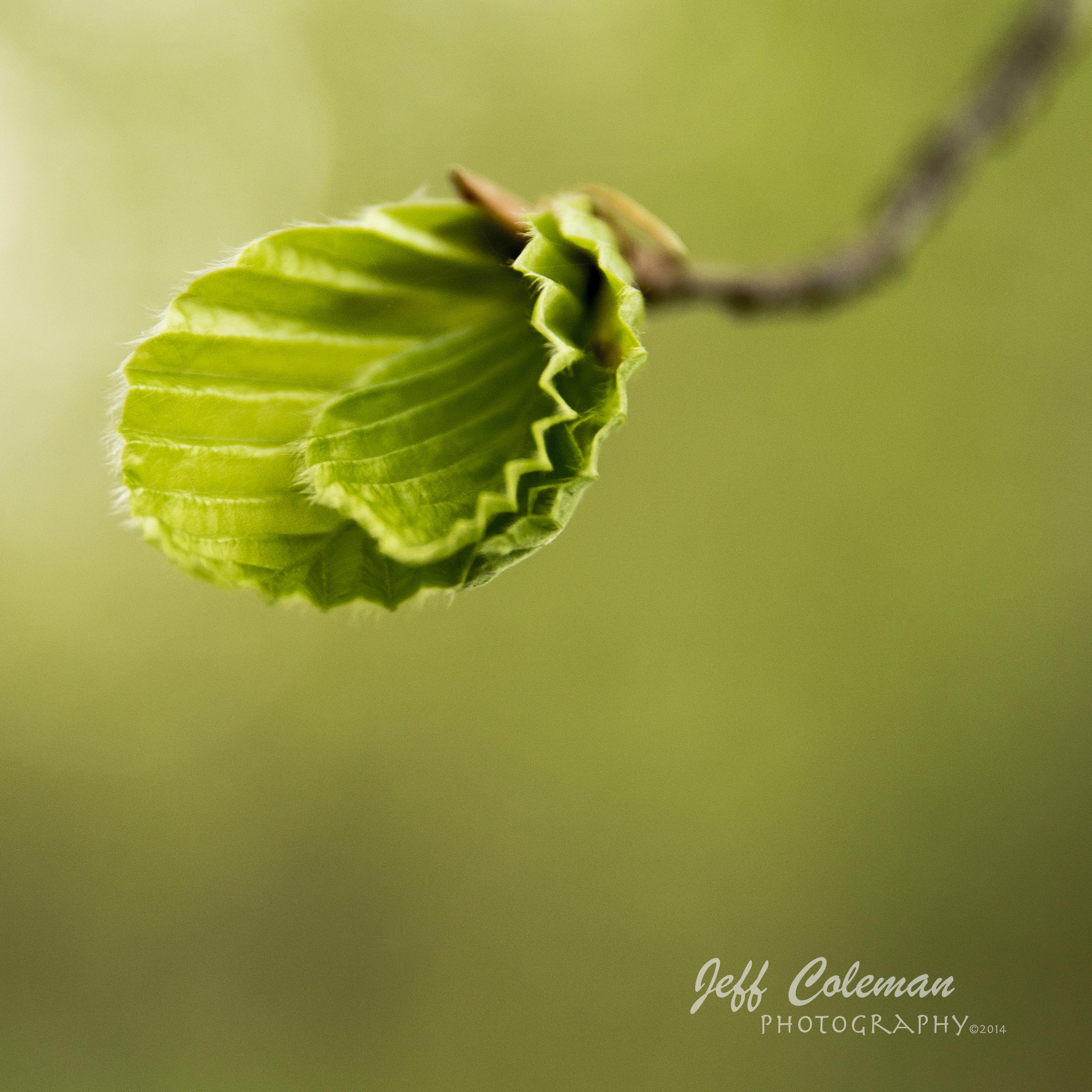 Leaf bud