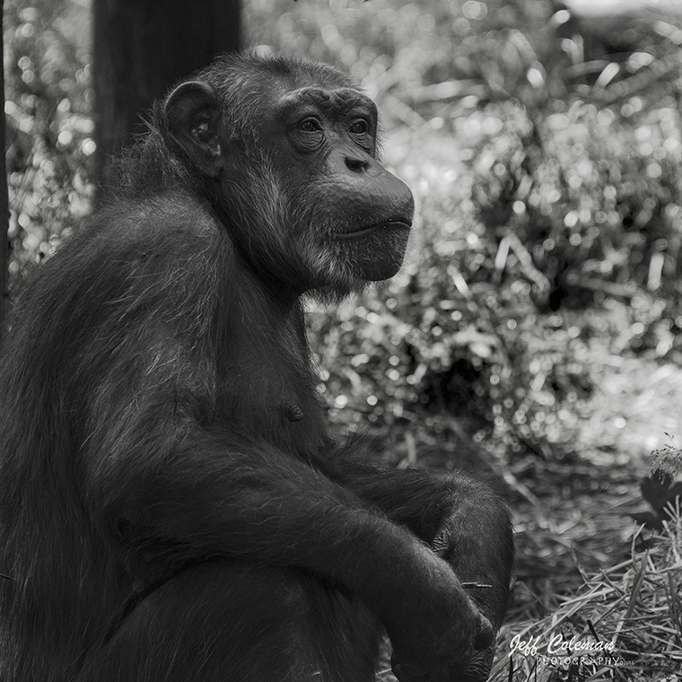 chimp1a