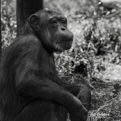 chimp 1a