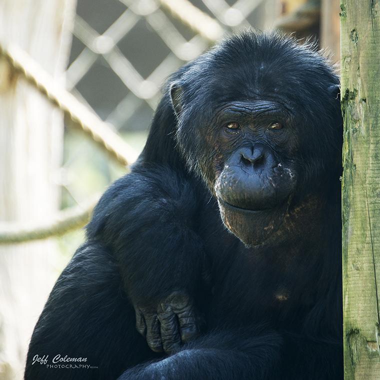 chimp.a