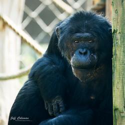 chimp a