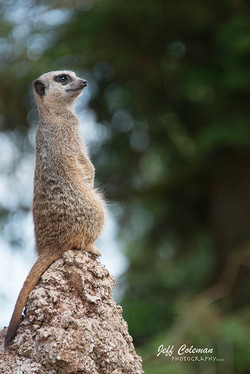 meerkat 6