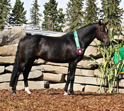 CWHBA Stallion Licensing