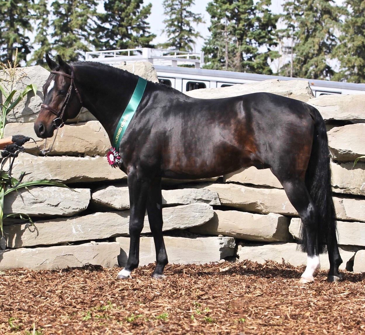 CWHBA Stallion Licensing