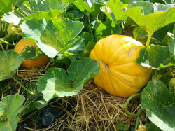 23 Pumpkins