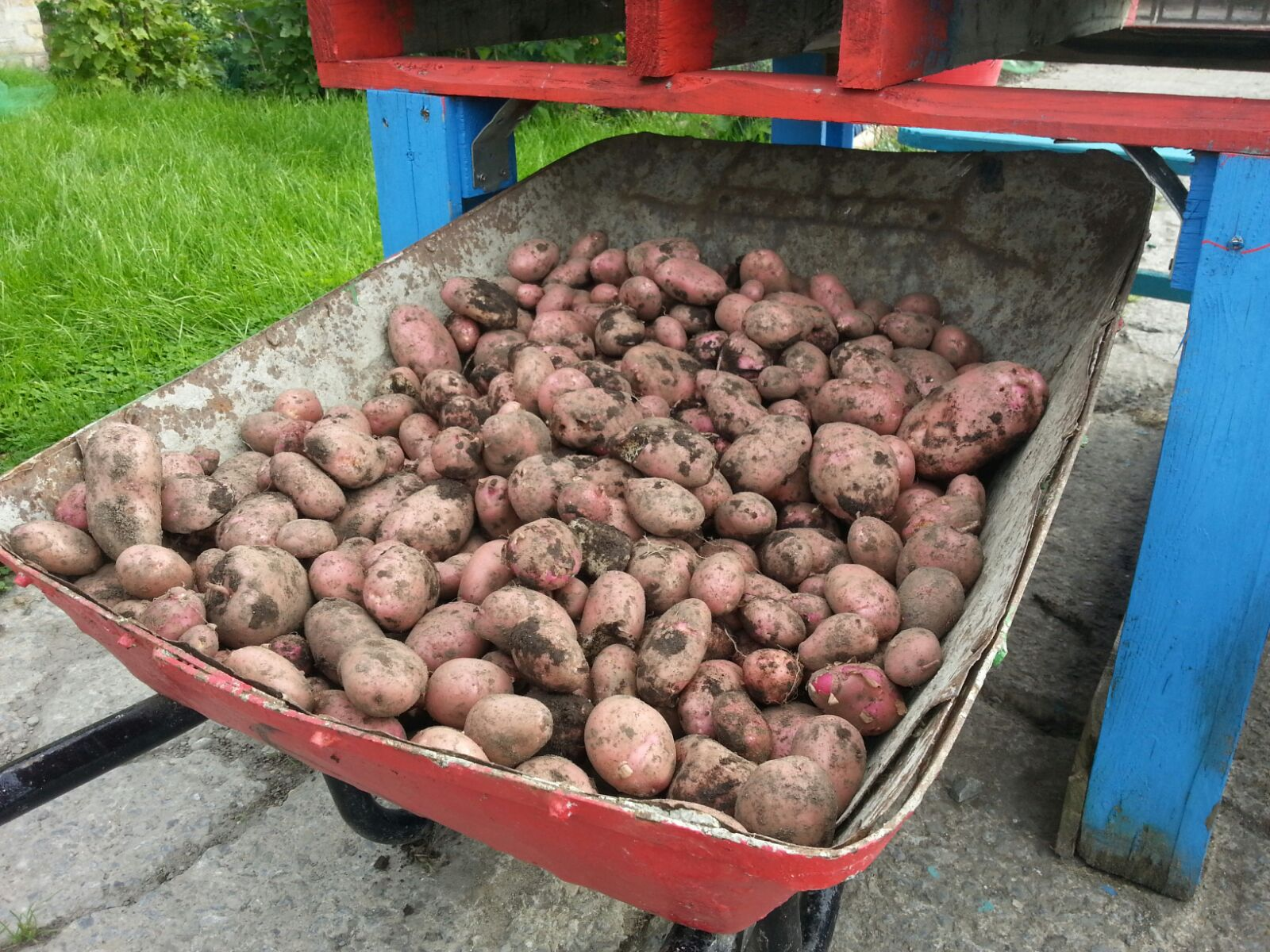 16 Potatoes
