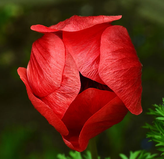 Ulrike Leone from Pixabay_poppy_Open.jpg