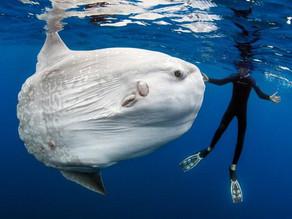 You are my Sunshine, Ocean Sunfish