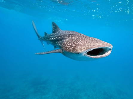 12 Interesting Facts About Whale Sharks