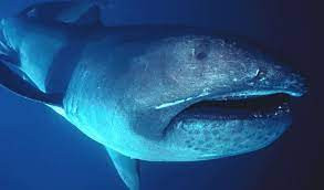 7 Interesting Facts About the Megamouth Shark