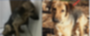 blind dog before and after.PNG