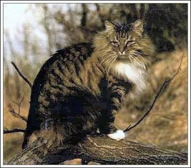Características del Gato Bosque de Noruega