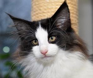 Norwegian Forest cat cattery MISHKA.jp