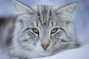 Norwegian Forest Cat cattery MISHKA cattery