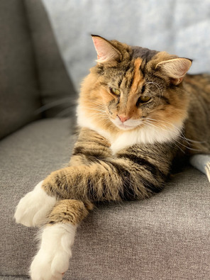 Norwegian Forest Cat cattery