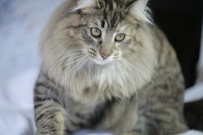 amazing cats long hair.JPG
