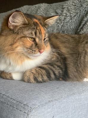 Norwegian Forest Cat.jpg