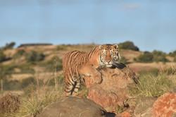 Cheetah Experience Tiger