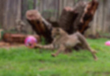 Cheetah playing with a soccer ball
