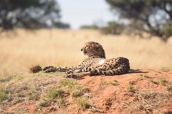 Cheetah Experience Cheetah