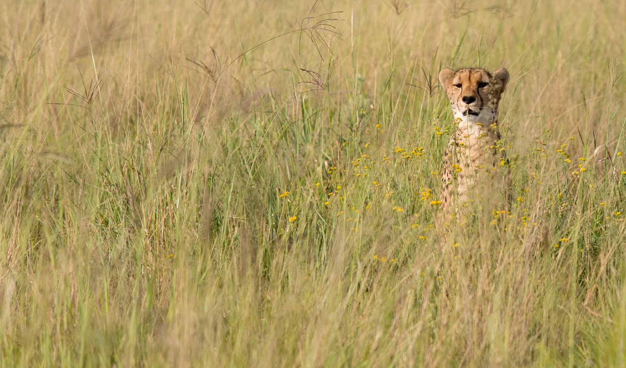 Cheetah Experience Cheetah Dew