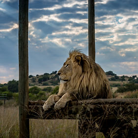 Male lion relaxing