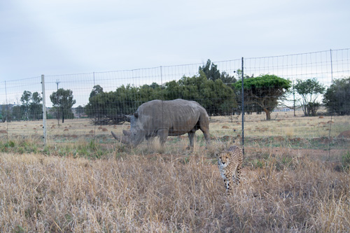 Cheetah Experience Rhino Neighbour