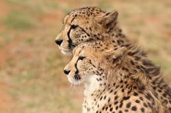 Cheetah Experience Two Cheetahs