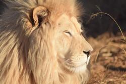 Cheetah Experience Lion