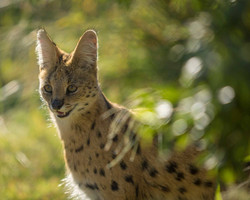 Cheetah Experience Serval Angie
