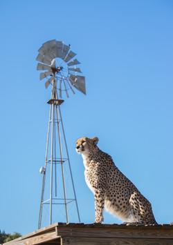 Cheetah Experience Fiela Cheetah