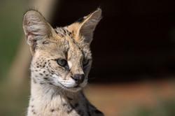 Cheetah Experience Serval Lyra