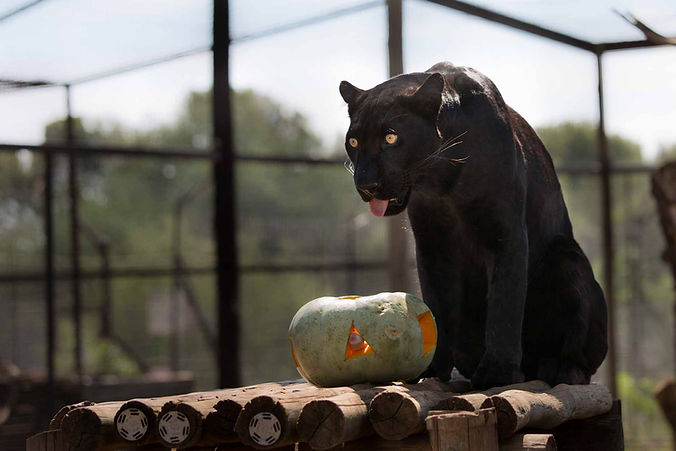 One of our leopards playing with a pumpkin with meat inside